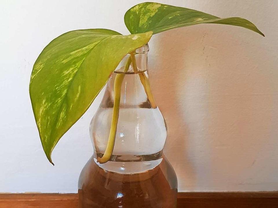Die Verengung am Flaschenhals verhindert ein Abrutschen der Blätter ins Wasser  | Foto: Claudia Förster Ribet