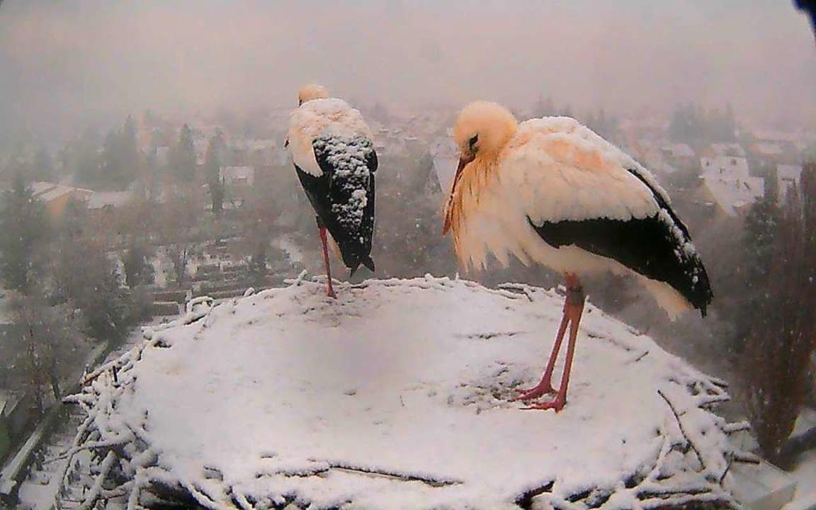 Die Störche auf dem Turm der St.-Gallu...trotzen den winterlichen Temperaturen.    Foto: Thomas Varadi (regiowebcam.de)