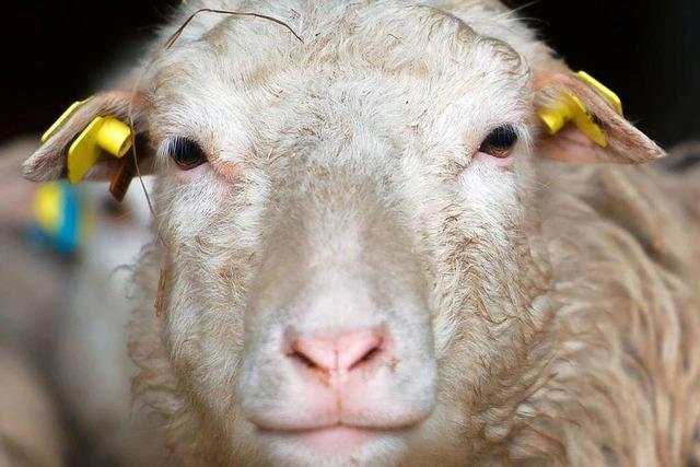 Verletztes Schaf leidet, weil Behörde nicht erreichbar ist