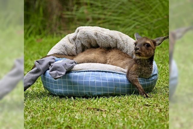 Känguru trägt Socken