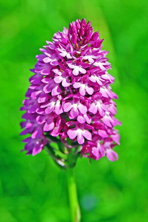 Der Kaiserstuhl ist ein Eldorado für Orchideen.  | Foto: Herbert Trogus