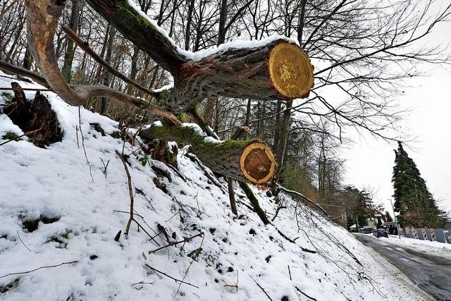 Gefahr durch alte Bäume im Freiburger Villenviertel
