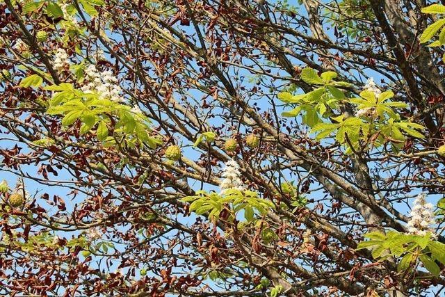 Frühling-Herbst-Kastanie in Munzingen