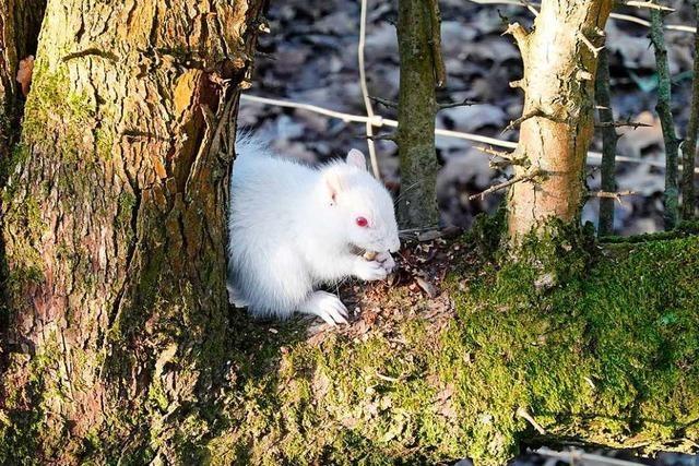Seltenes Albino-Eichhörnchen in englischem Park gesichtet