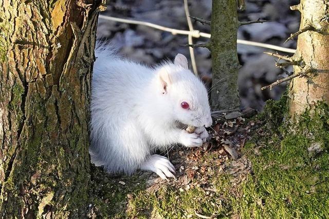 Albino-Eichhörnchen in englischem Park