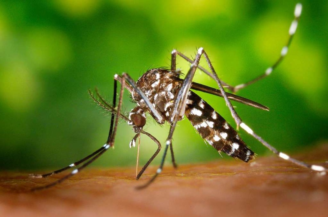 Die Asiatische Tigermücke soll sich nicht unkontrolliert ausbreiten.  | Foto: James Gathany/CDC