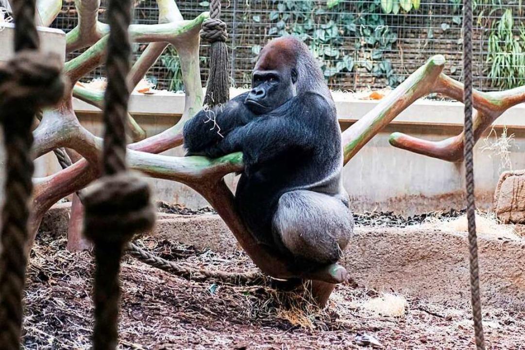Ob Gorilla Mtonge die Zoobesucher fehl...as eine zu menschliche Interpretation.  | Foto: Zoo Basel (Torben Weber)