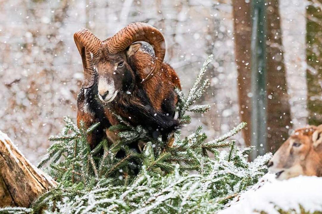 Mufflons im Schnee  | Foto: Zoo Basel (Torben Weber)