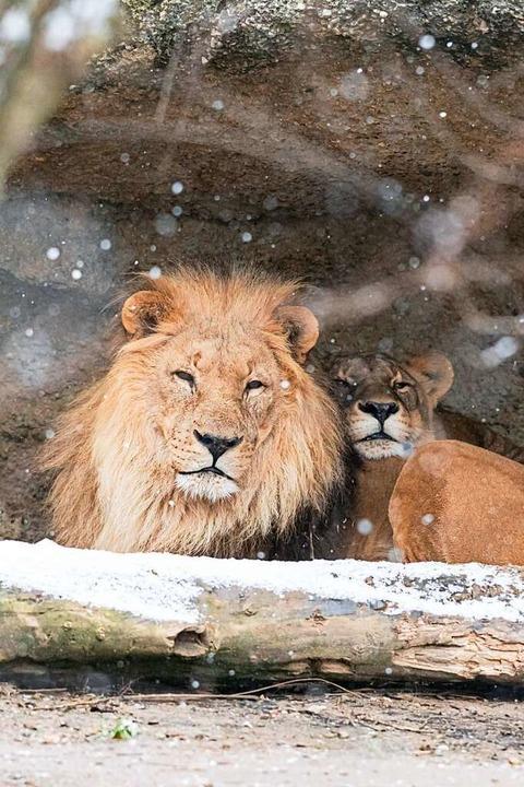 Die Löwen mögen es gemütlich im Winter.  | Foto: Zoo Basel (Torben Weber)