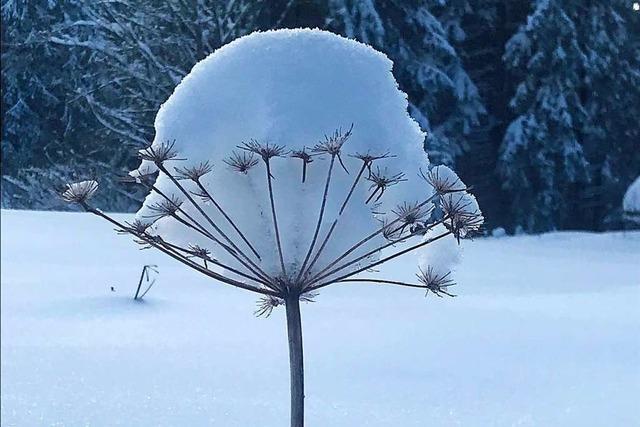 Schwere Last auf filigranem Gewächs durch neuen Schneefall