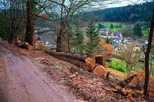 Wegen Krankheit werden derzeit zahlreiche Bäume bei Ettenheim gefällt