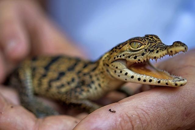 Das Krokodil ist das Zootier des Jahres
