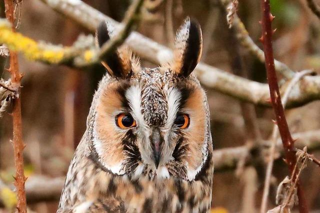 Auge in Auge mit der Waldohreule