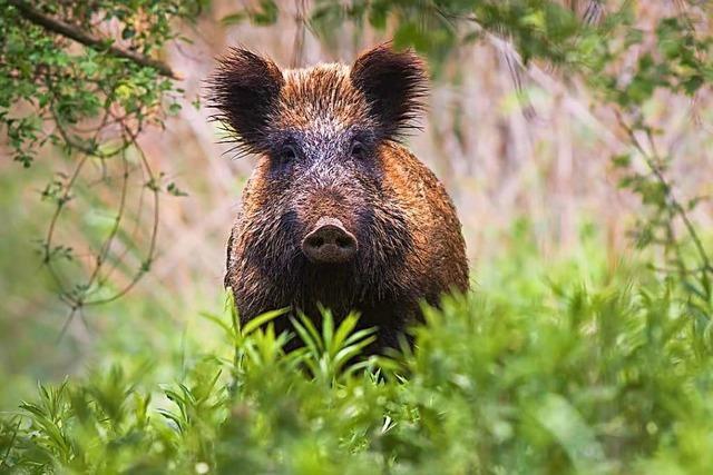Fleisch aus heimischer Jagd findet trotz geschlossener Gastronomie reißenden Absatz