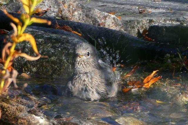 Rotschwänzchen genießt schönes Sommerwetter beim baden