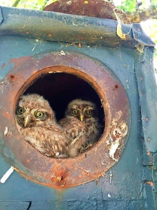 Zwei junge Steinkäuze schauen neugierig aus der Brutröhre.  | Foto: Nabu Lahr