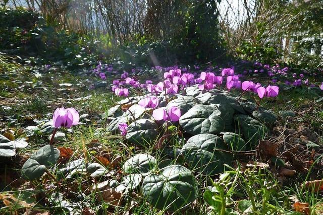 Dank frühlingshafter Temperaturen blühende Alpenveilchen auf dem Salzert entdeckt