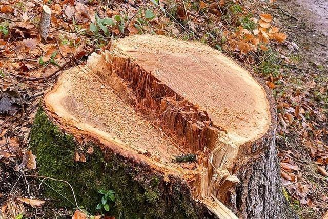 Eine neue Ettenheimer Waldaktionsgruppe will alte Bäume retten
