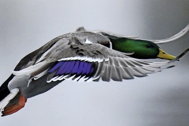 Ente im Anflug