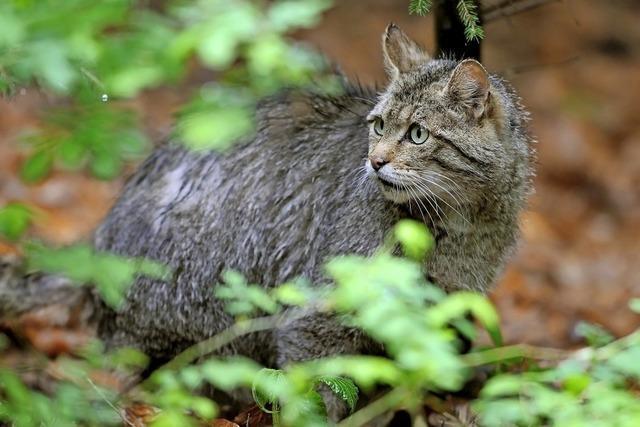Die Wildkatze wird im Hochschwarzwald wieder heimisch