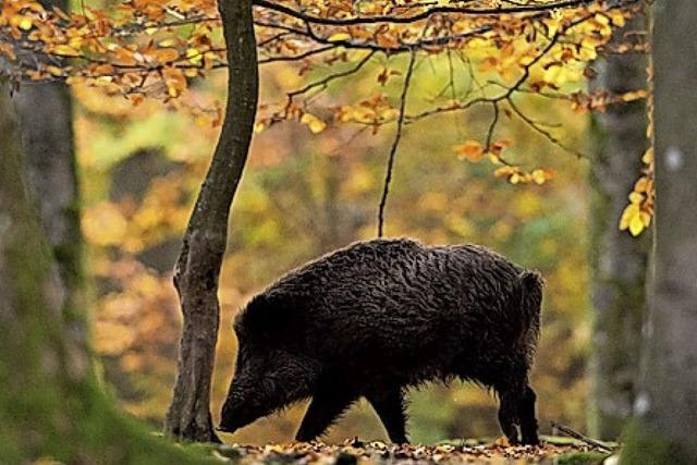 Die Mühe mit Wildschweinen