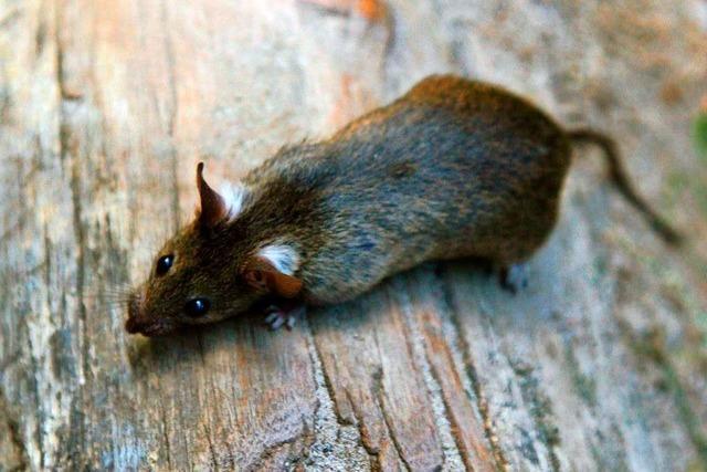 Werden in Müllheim aufgrund des Lockdowns zurzeit mehr Ratten gesichtet?