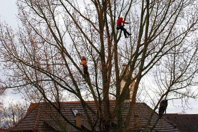 Kletterer hängen in den höchsten Baumgipfeln