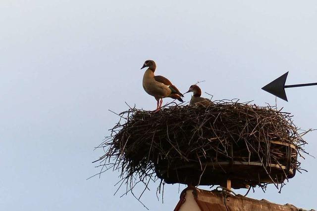 Neues zuhause gefunden – Nilgänse im Storchennest gesichtet