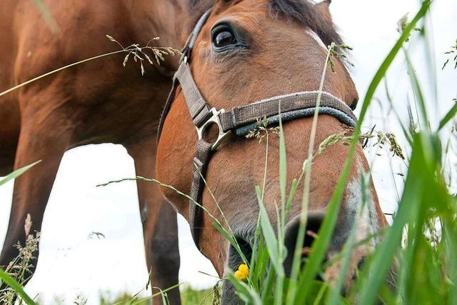 Die Rheinfelder Verwaltung will keine Pferdesteuer