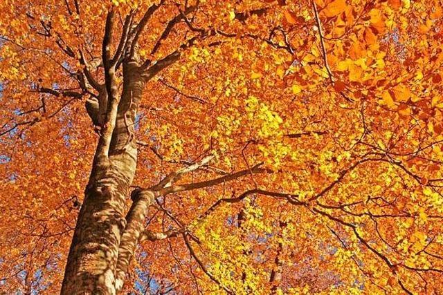 Was für ein schöner, leuchtender Freiburger Herbstwald