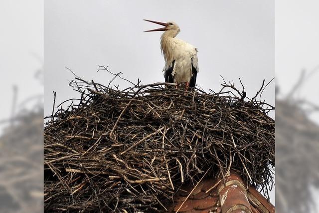 Erster Storch im Nest in Grunern