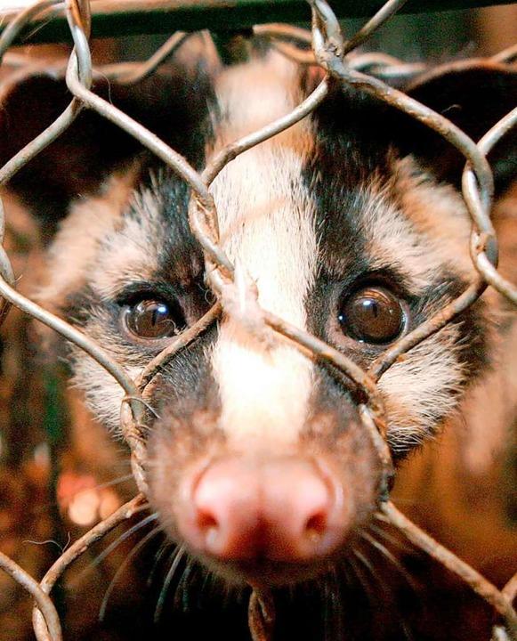 Eine Zibetkatze hinter Gittern: Auf Wi...h in der Natur niemals treffen würden.    Foto: Paul_Hilton