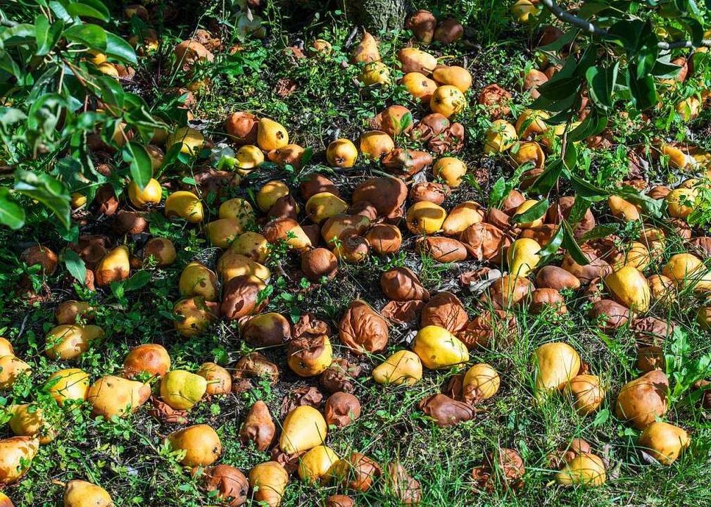 Erst wenn die Birnen ein paar Tage am ...  den richtigen Geschmack, so Rombach.  | Foto: Patrick Pleul