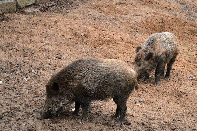 Wildschwein-Dame will nicht nach Zell im Wiesental umziehen
