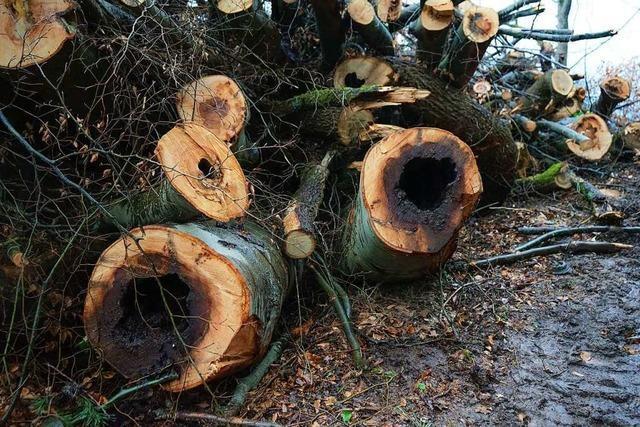 Einigung im Ettenheimer Streit um die Baumfällungen