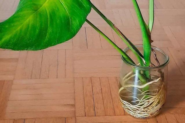 Wie lassen sich Pflanzenableger in Wasser züchten?