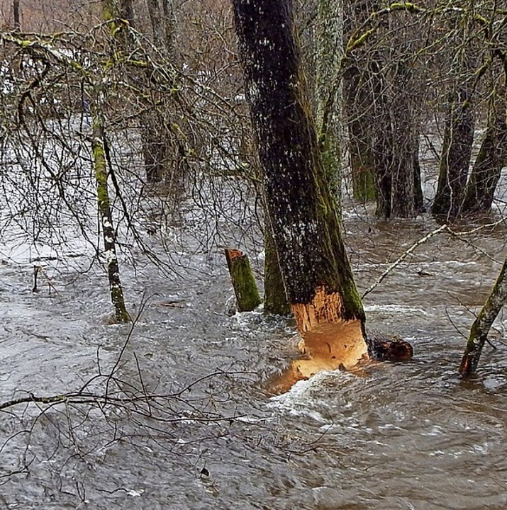 Biber hinterlassen in Hogschür deutliche Spuren.  | Foto: Wolfgang Adam