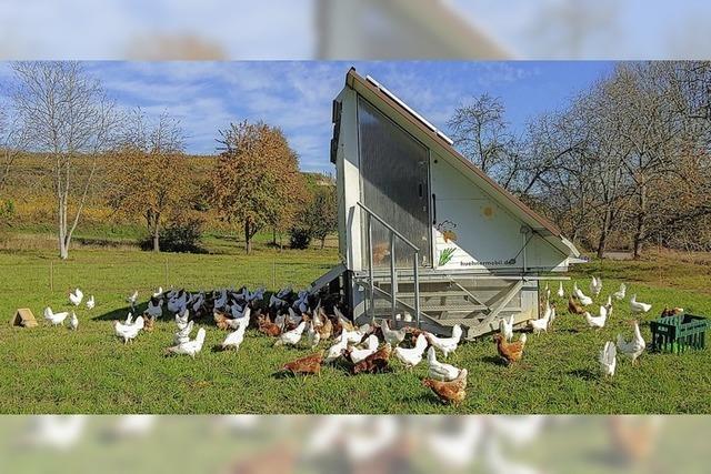 Wöchentlich ziehen die Hühner um