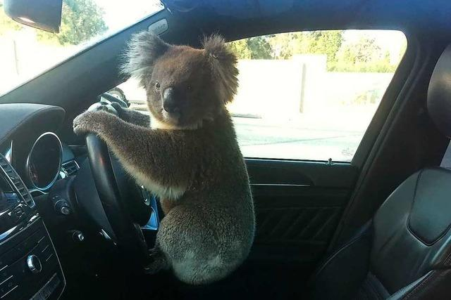 Koala verusacht Massenkarambolage – und setzt sich dann hinters Steuer