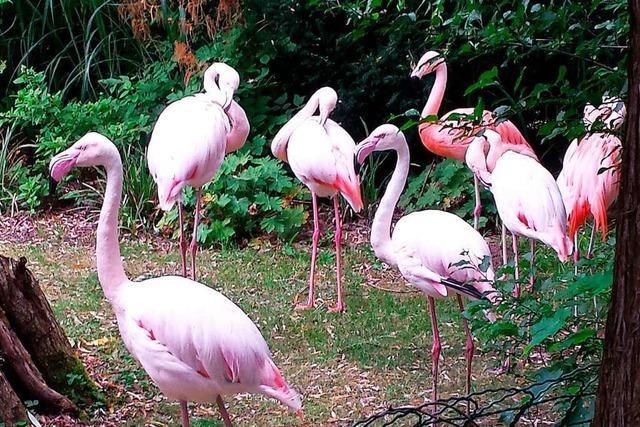 Malecker Hotel-Flamingos fallen einem Fuchs zum Opfer