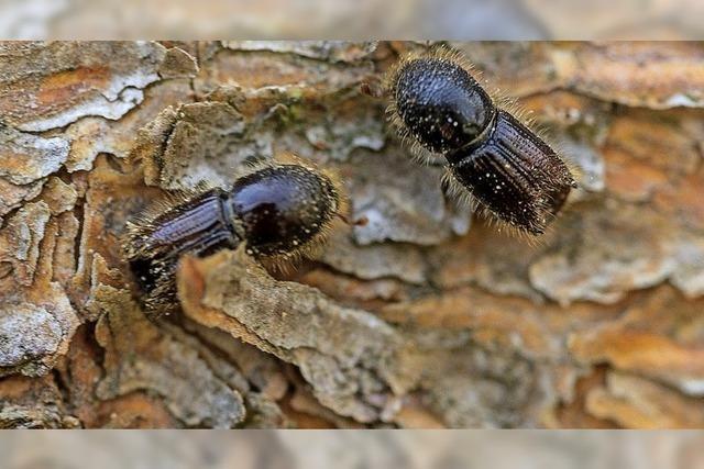 Förster rechnet künftig mit weniger Käferschäden