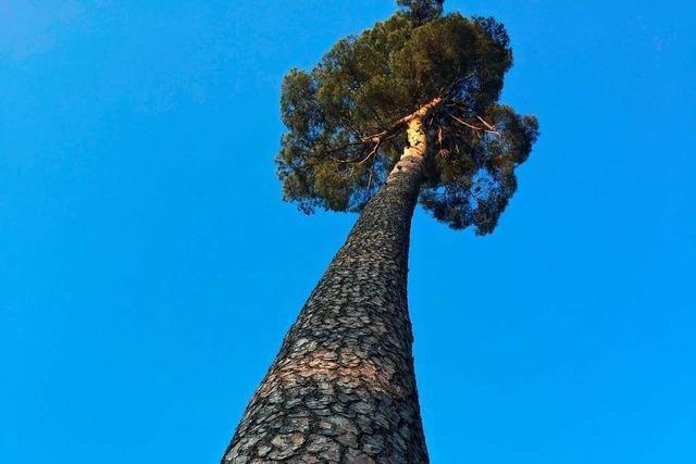 Aus der Froschperspektive ragt dieser Baum in Karsau in den Himmel