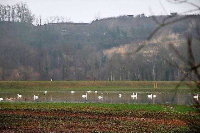 Diese Wiese bei Riegel ist der neue Place to be für Schwäne, Gänse und Enten
