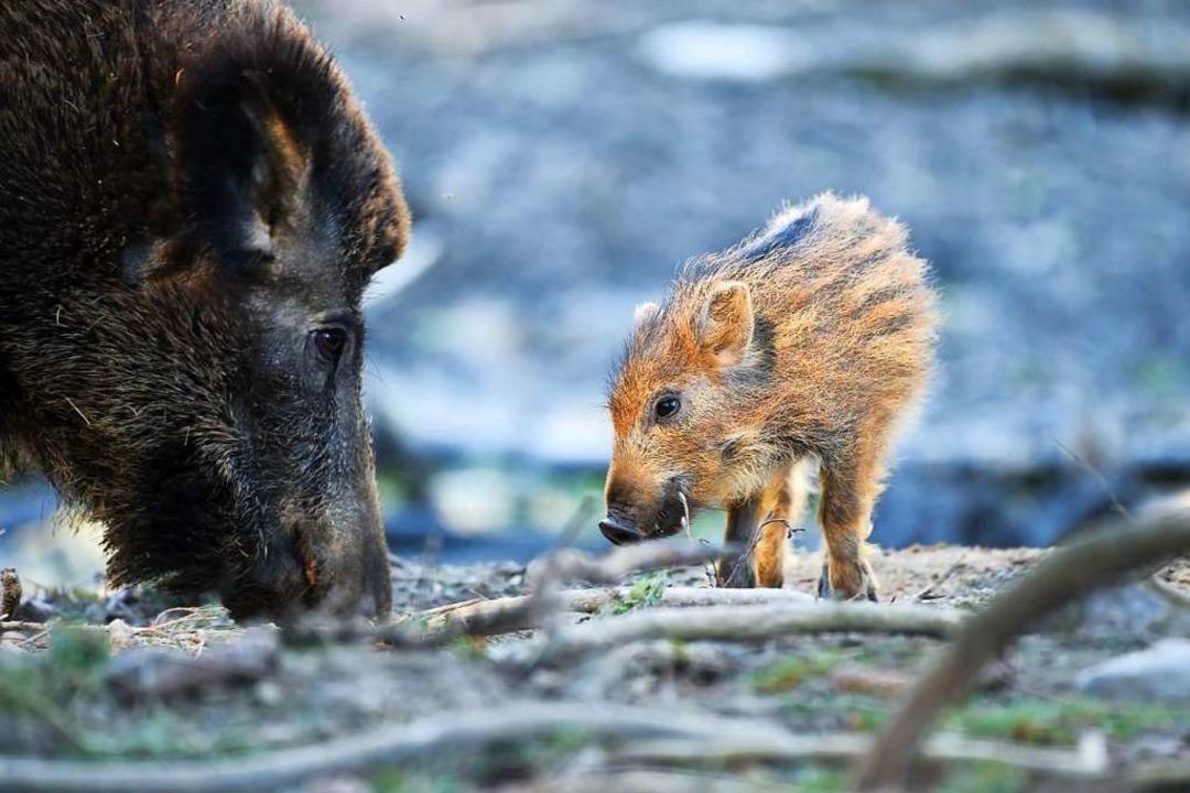 Schwarzkittel vermehren sich in den le...tiger Landesgartenschau  die Böden um.  | Foto: Felix Kästle (dpa)