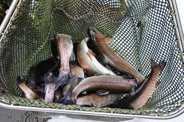 Feiner Fisch aus frischem Wasser: Zu Besuch in der Forellenzucht in Schweighof