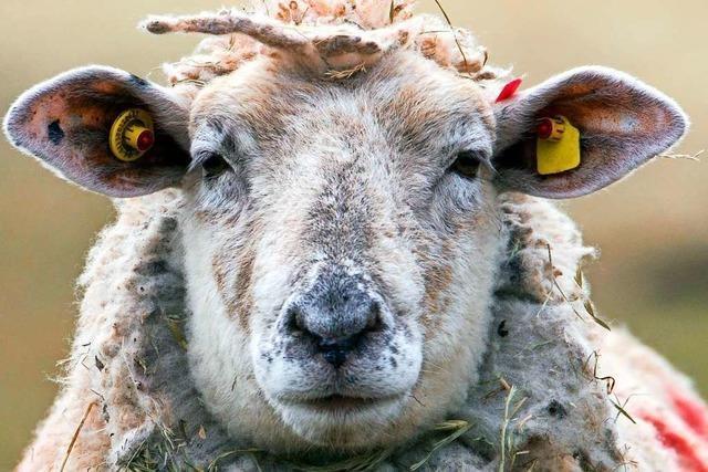Drei tote Schafe am Saalenberg in Sölden gefunden