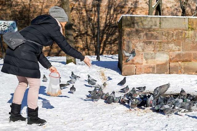 Den Tauben in den Innenstädten geht das Futter aus