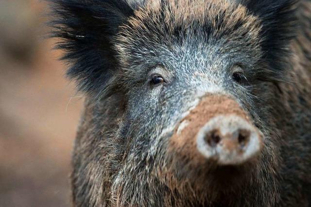 Lahrer Kreisjägermeister gibt Tipps zum Fleisch aus heimischem Wald