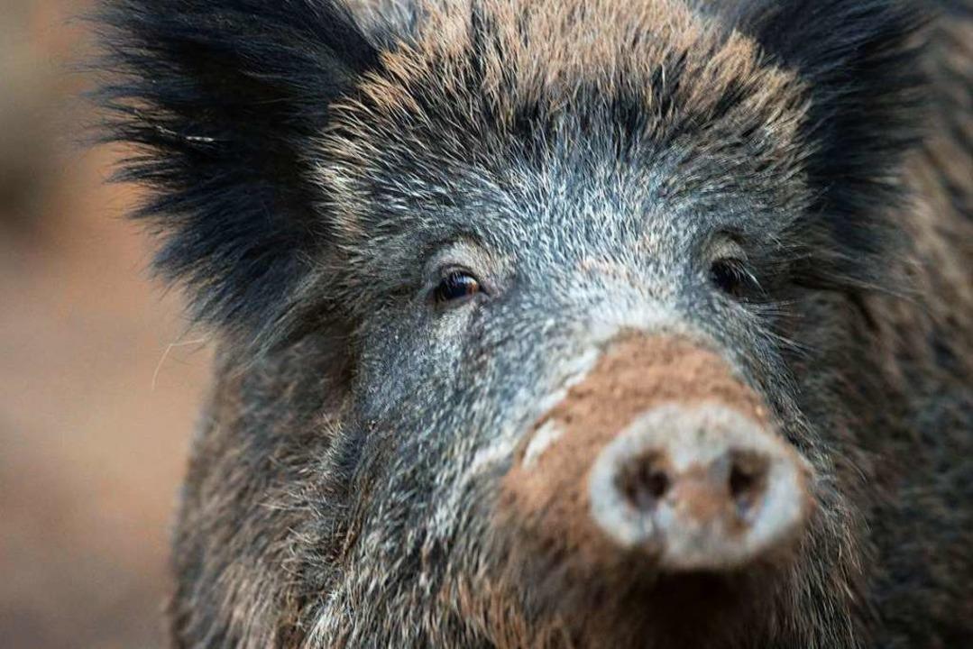 Wildschweine dürfen dieser Tage gejagt...r das Rehwild gilt derweil Schonzeit.   | Foto: Lino Mirgeler (dpa)