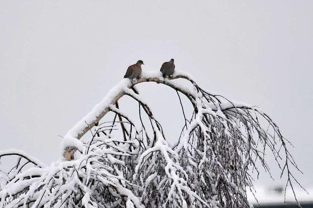 Lahrer Stadtrat fordert, dass Tauben im Winter gefüttert werden dürfen
